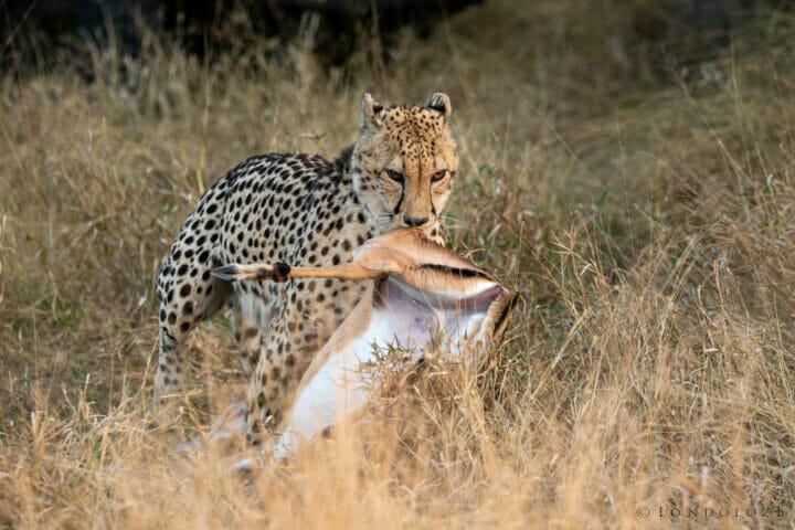 Cheetah Kill Drag Kng