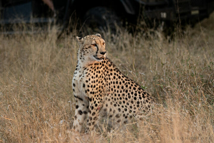 Cheetah Kill Mother Kng