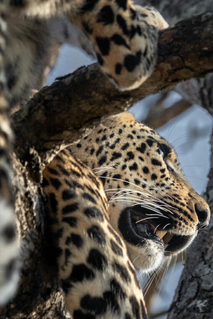 Dlr Leopard Xinzele Dean De La Rey 05 21