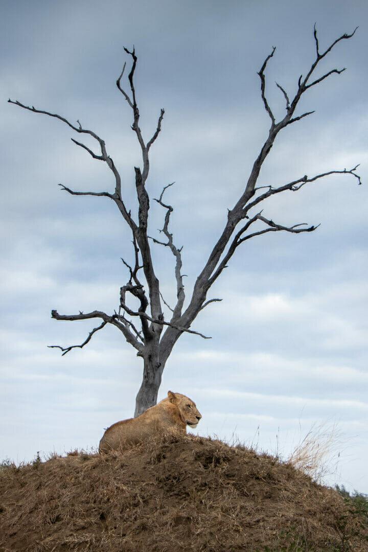Dlr Ntsevu Sub Adult Male Lion Dean De La Rey 05 21