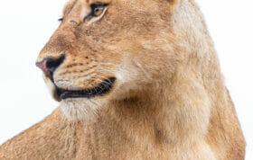 Dlr Ntsevu Sub Adult Lioness Lion Dean De La Rey 05 21