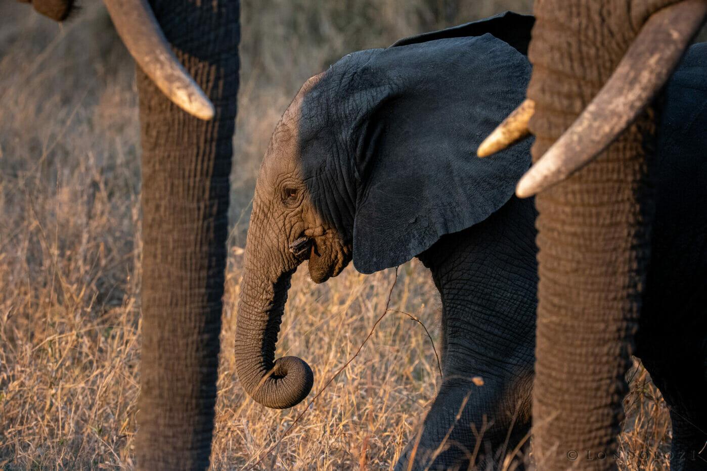 Dlr Dean De La Rey 06 21 Elephant Calf