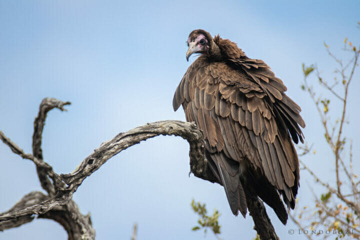 Dlr Dean De La Rey 06 21 Hooded Vulture