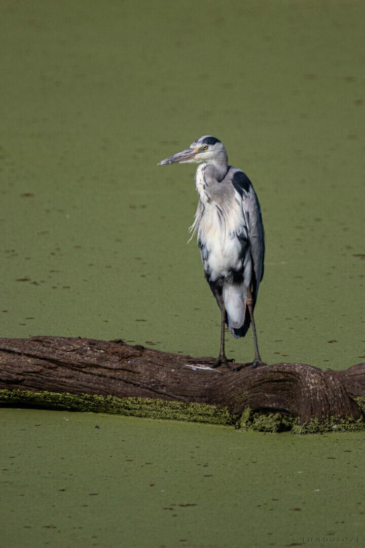 Dlr Dean De La Rey 06 21 Grey Heron Bird