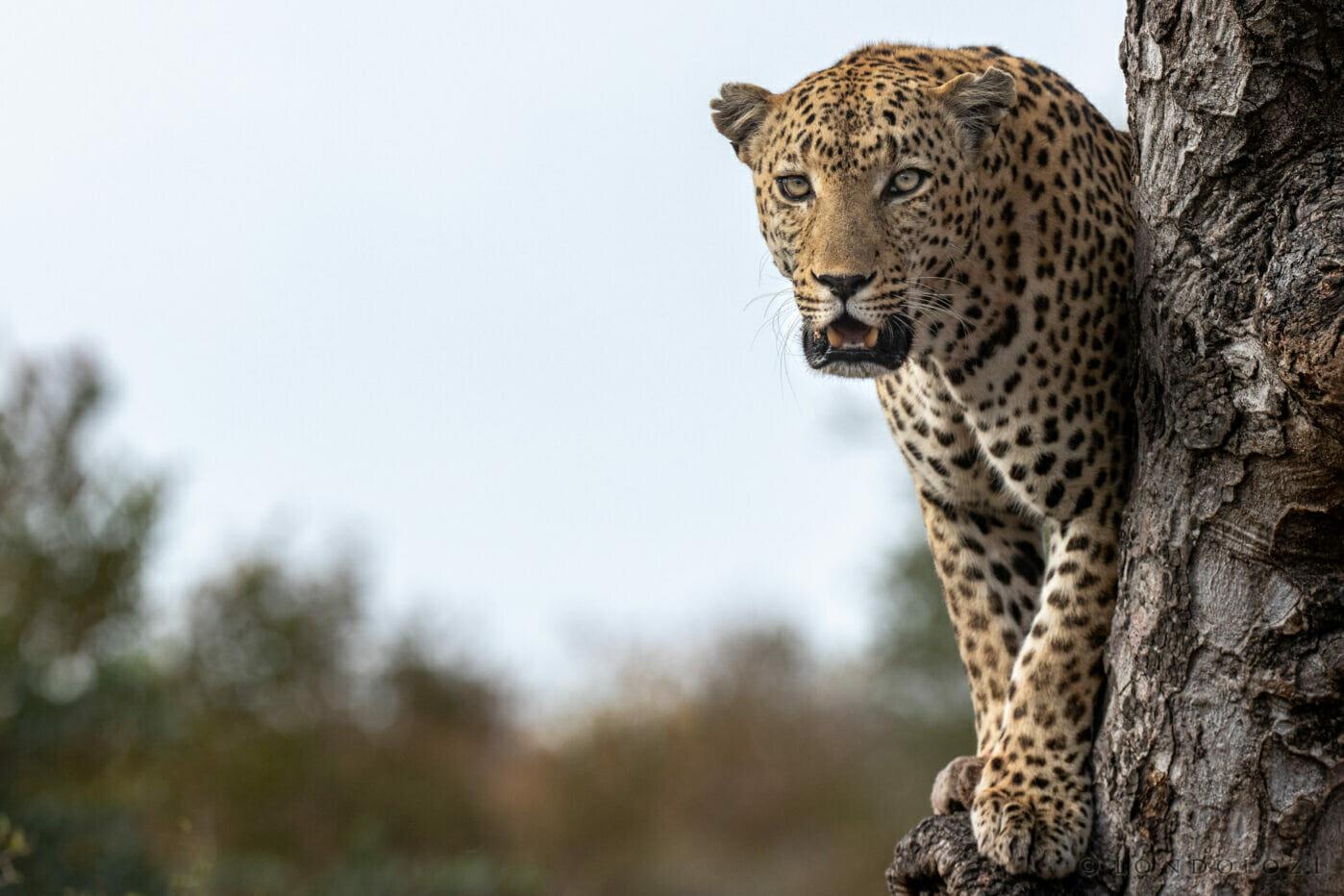 Dlr Dean De La Rey 06 21 Leopard Senegal Bush