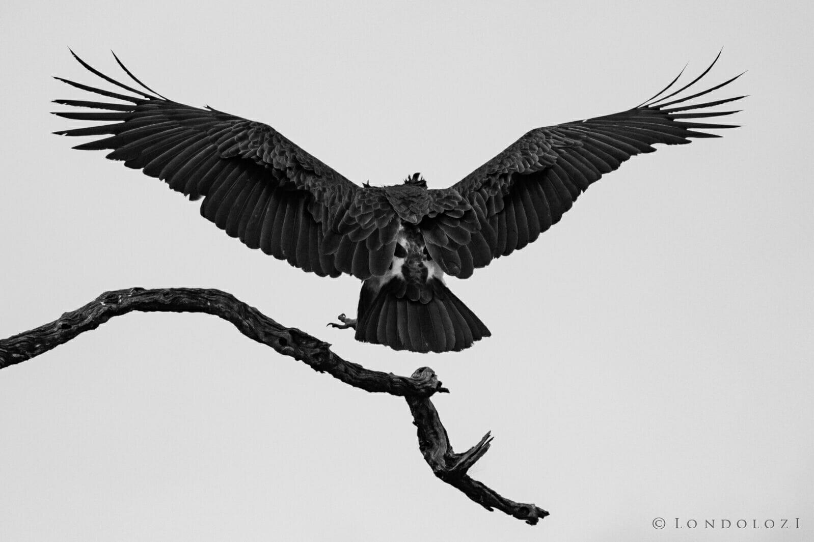 Dlr Dean De La Rey 06 21 Vulture Black And White High Key