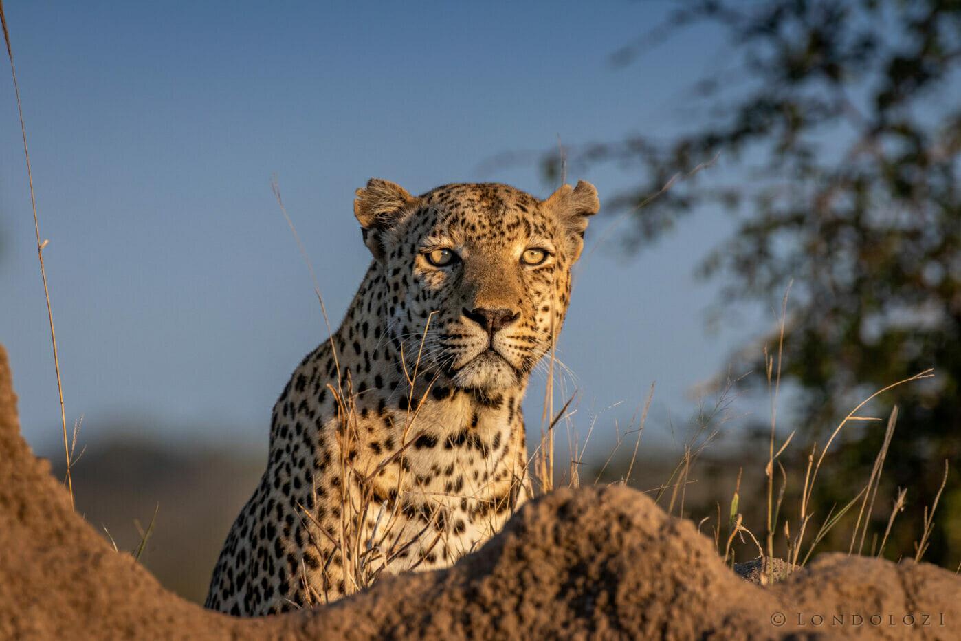 Dlr Dean De La Rey 06 21 Leopard Senegal Bush Mound