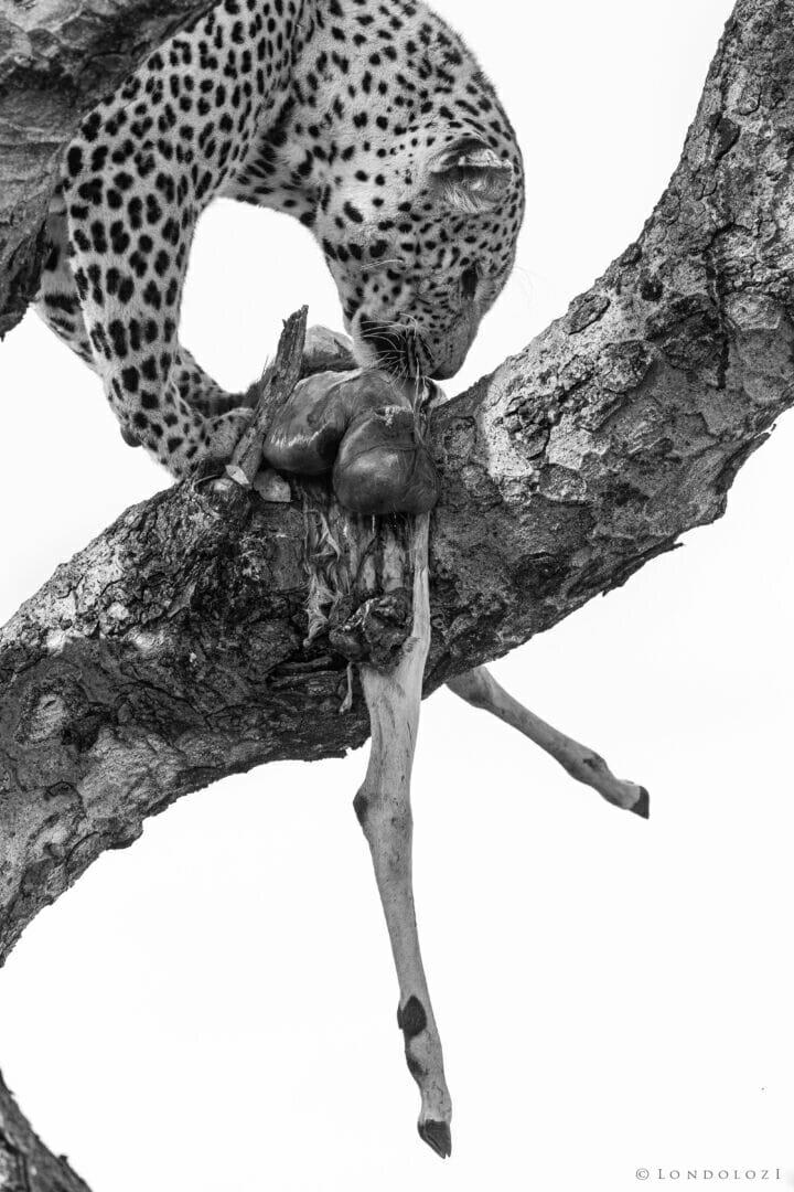 Dlr Dean De La Rey 06 21 Leopard Black And White Kill