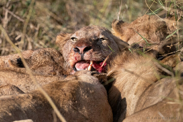 Dlr Dean De La Rey 06 21 Lion Kill