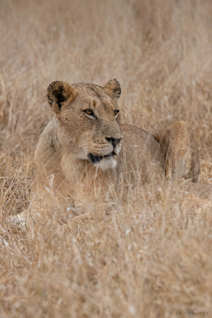 Dlr Dean De La Rey 06 21 Lioness Ntsevu