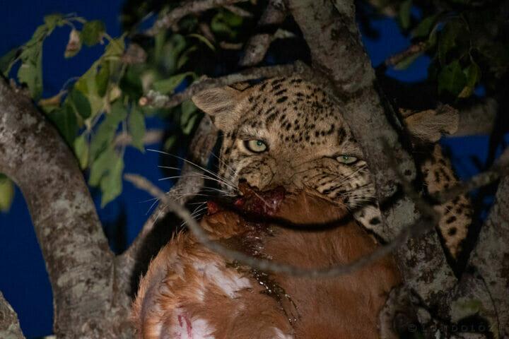 Dlr Dean De La Rey 06 21 Senegal Bush Kill Leopard