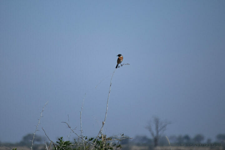African Stonechat (2)