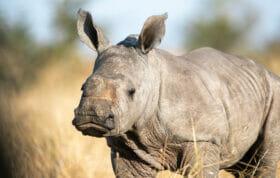 SZ rhino calf