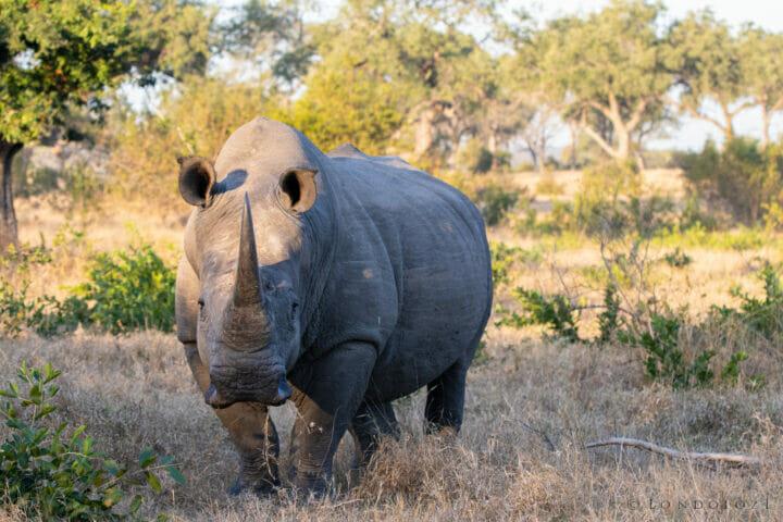 Rhino Bull, June 2021, CT