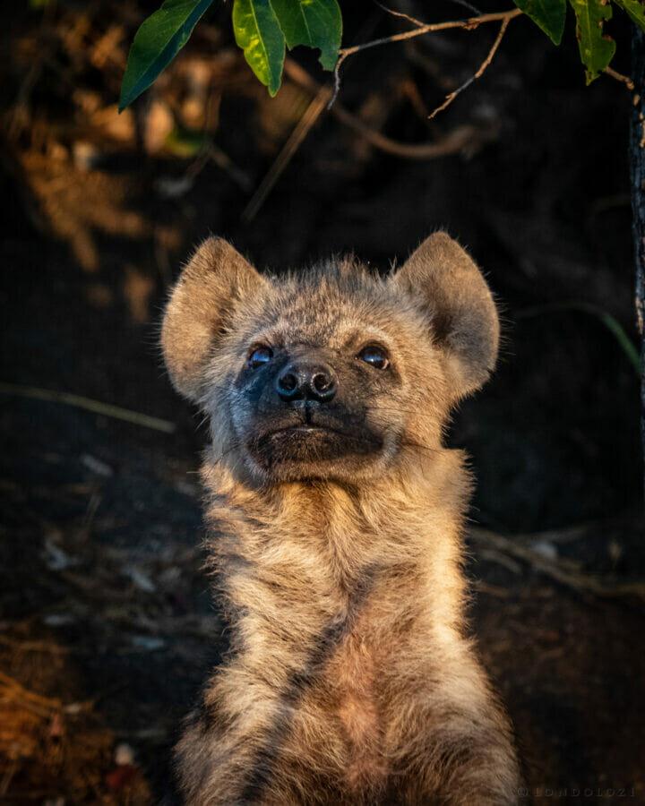Hyena Cub, June 2021, CT