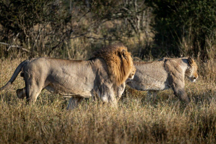 Northern Avoca Male And Unknown Lioness