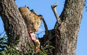 CT Senegal Bush Male Feeding, June 2021