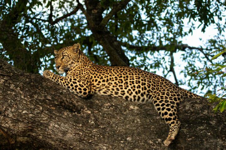 The Xinzele female leopard
