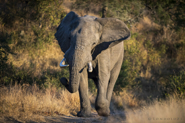 Sdz Elephant Bull Musth