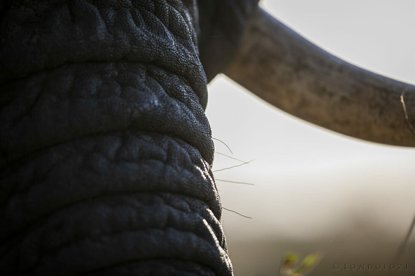 Sdz Elephant Trunk Skin Tusk
