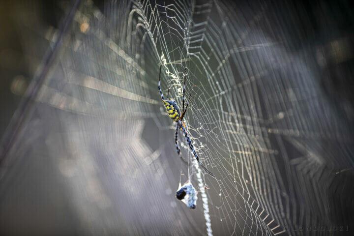 Sdz Garden Orb Web Spider