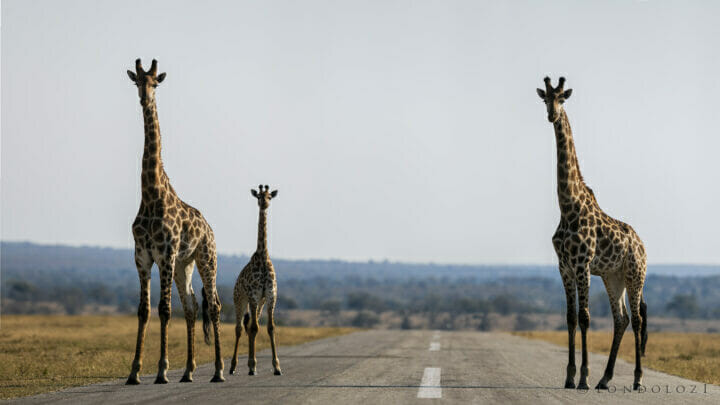 Sdz Giraffe Airstrip Low Angle Three