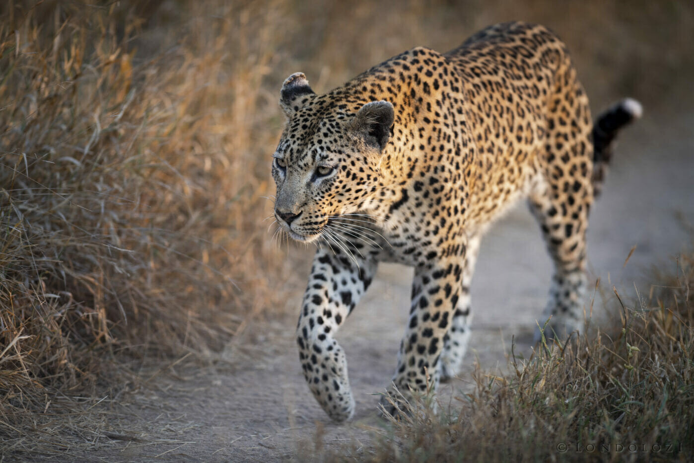 Sdz Mashaba Female Leopard Golden