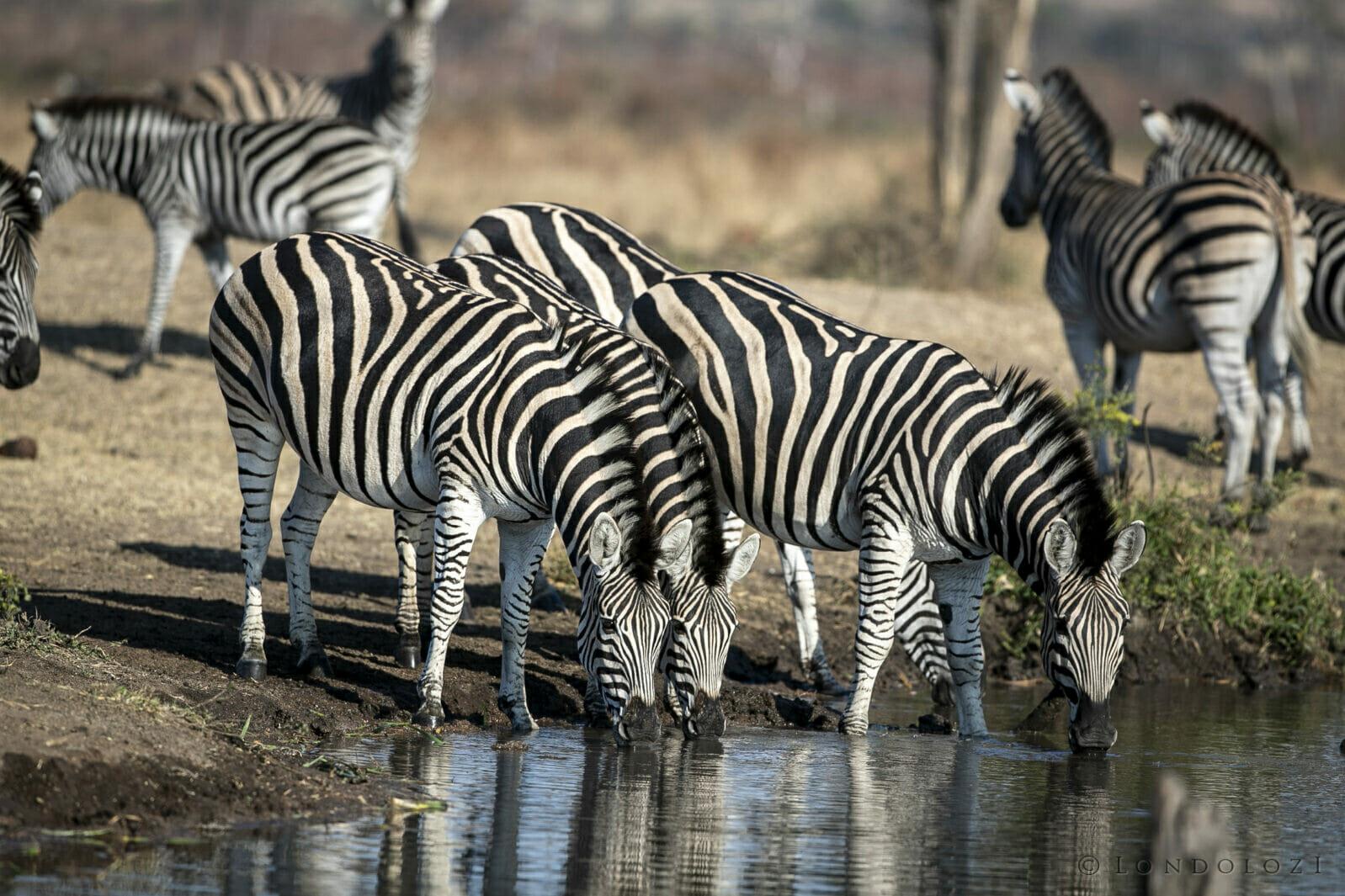 Sdz Zebra Drink Symmetry