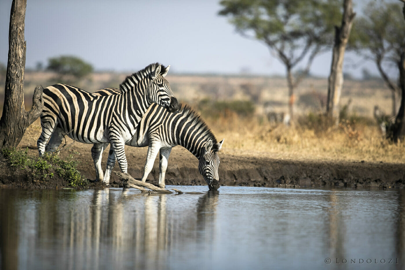 Sdz Zebra Stalion Drink
