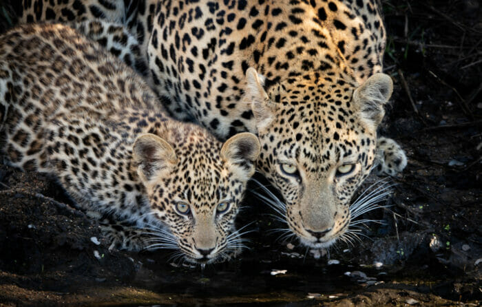 Ns Ximungwe and cub drinking 3