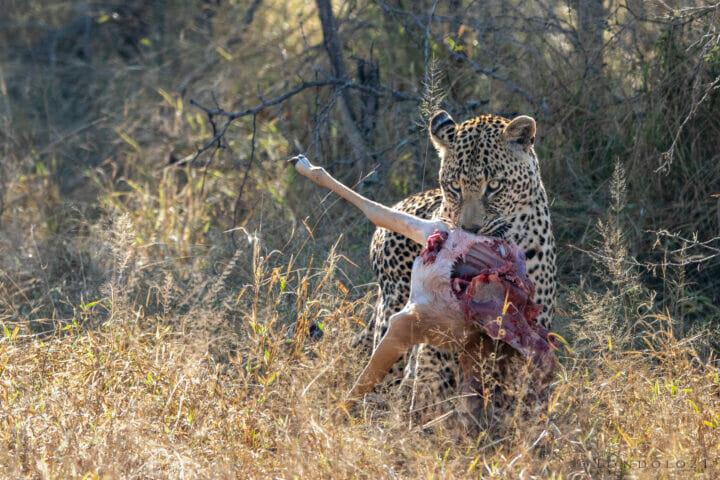 CT Nweti Male Dragging Kill June 2021
