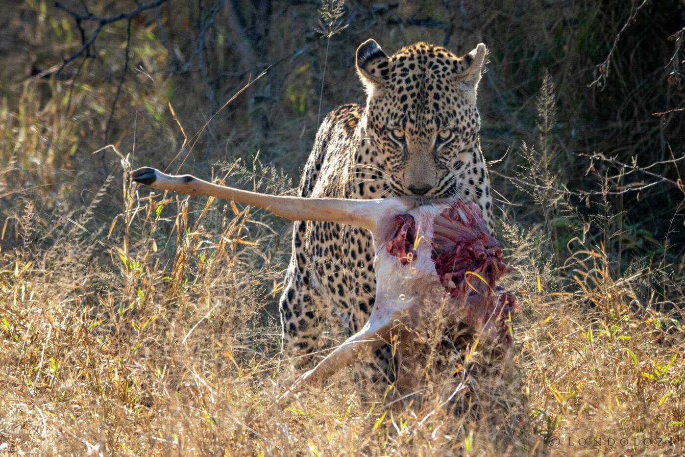 CT Nweti Male Leopard Dragging Kill June 2021