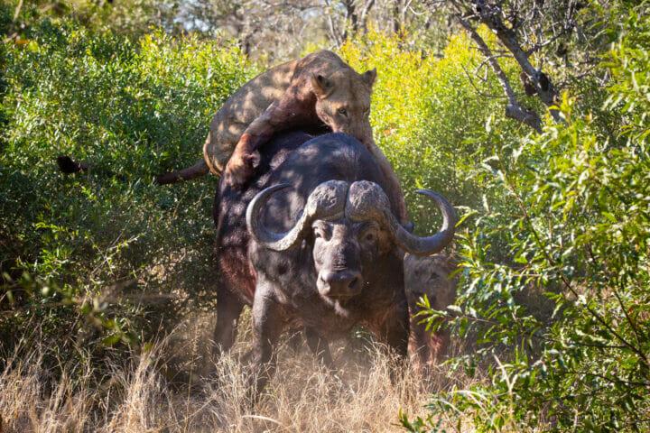 Buffalo Lion 2