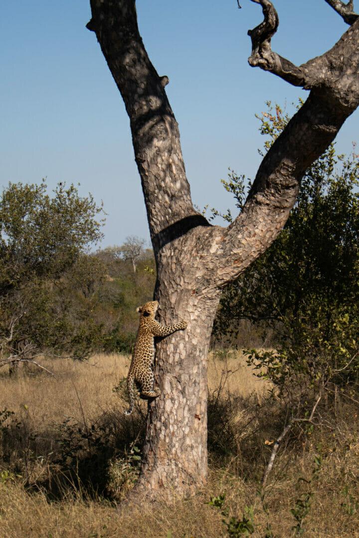Ns Ximungwe cub climbing Marula