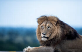 Sz Othawa Male Lion From The Side Low Angle