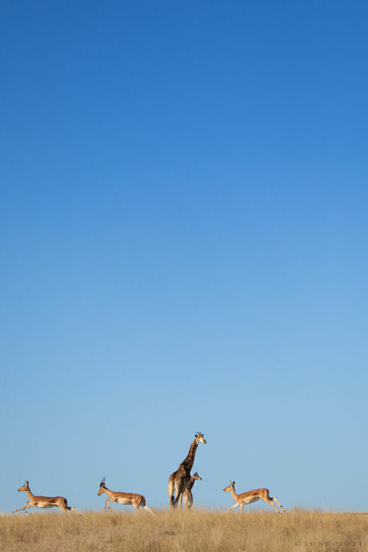 NS Giraffe and Impala, June 2021