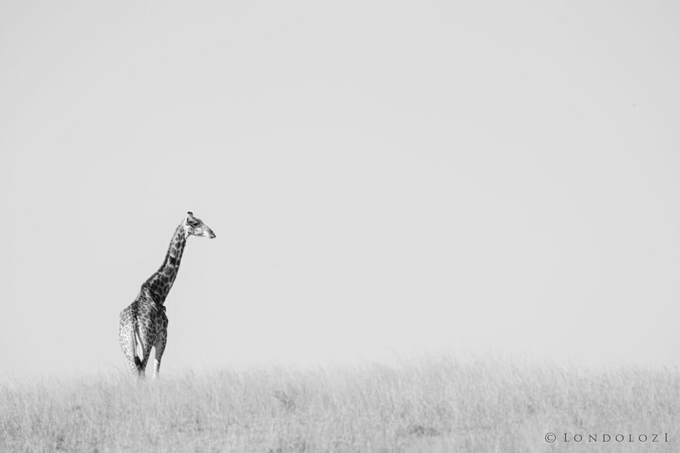 NS Black and White Giraffe Landscape, June 2021