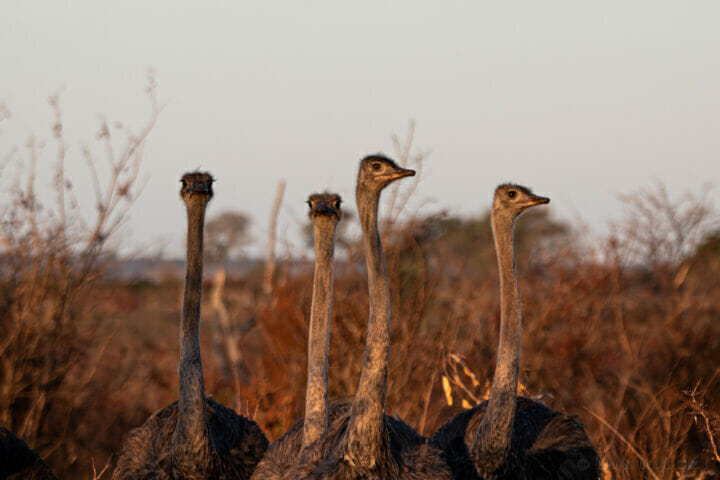 NS Ostrich Family At Sunset, June 2021