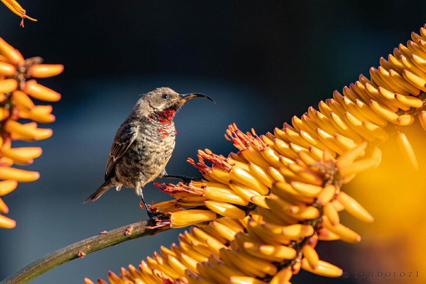 CT Scarlet Chested Sunbird Aloe, June 2021