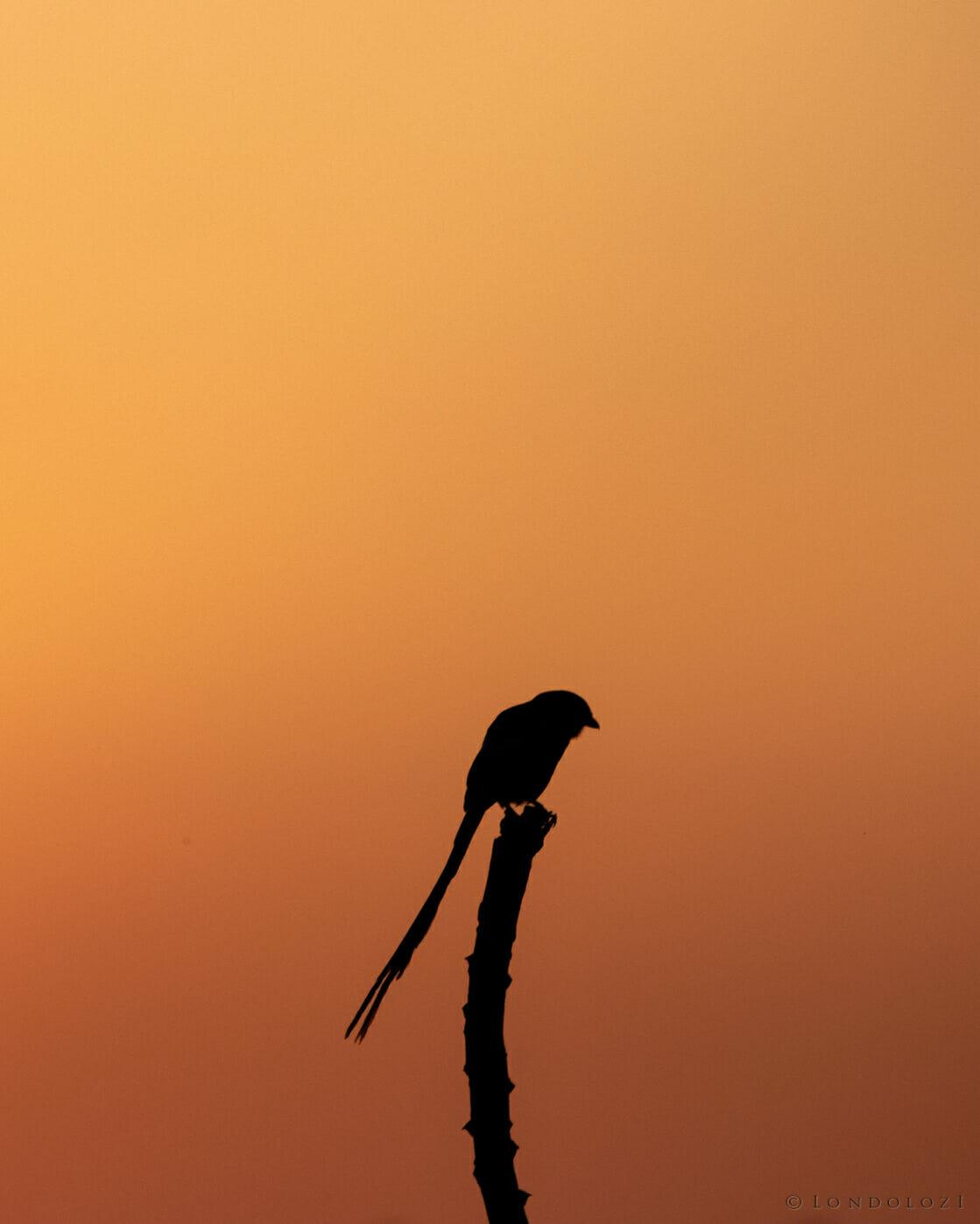 CT Magpie Shrike Silhouette Sunset, June 2021
