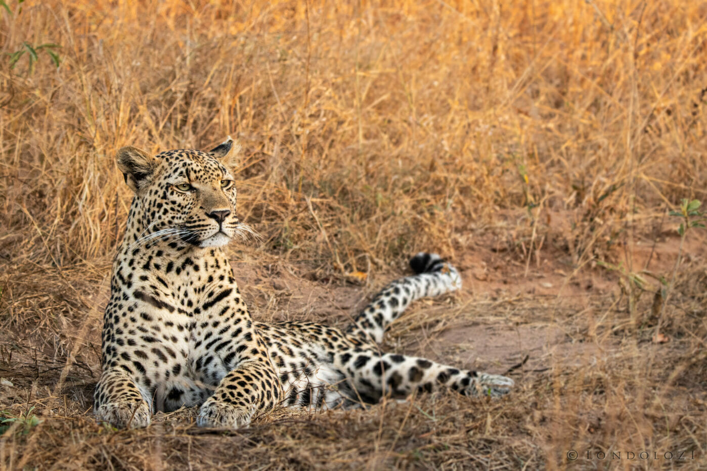 CT Xinzele Female Leopard, June 2021