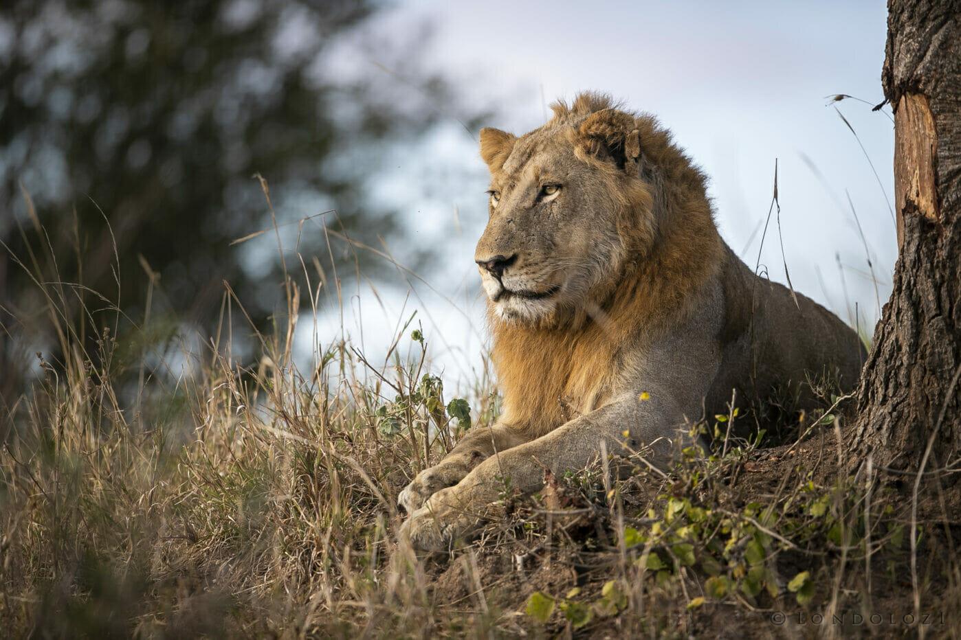 SDZ Nkuhuma young male Lion