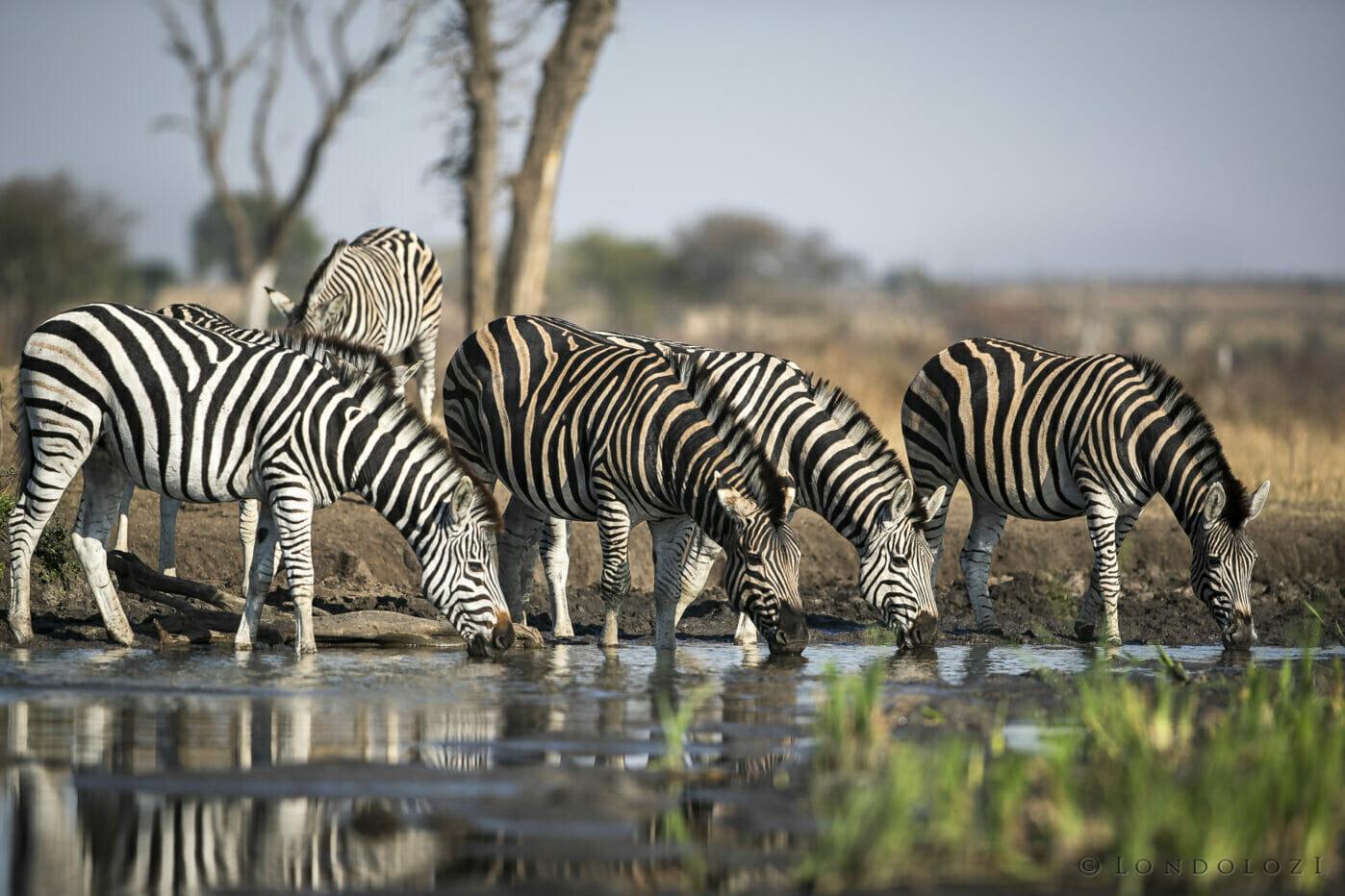 SDZ Zebra drink weavers nest pan