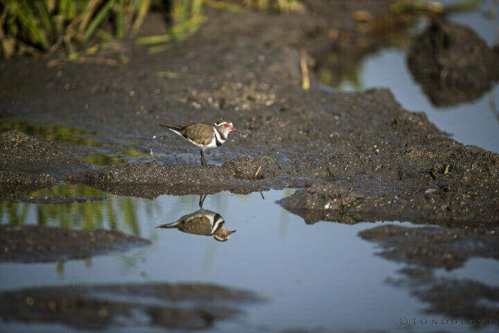 SDZ Three Banded Plover reflection