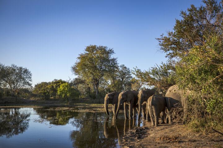 SDZ Elephant herd drinking landscape
