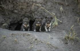 SDZ Wild dog pups three 24 June