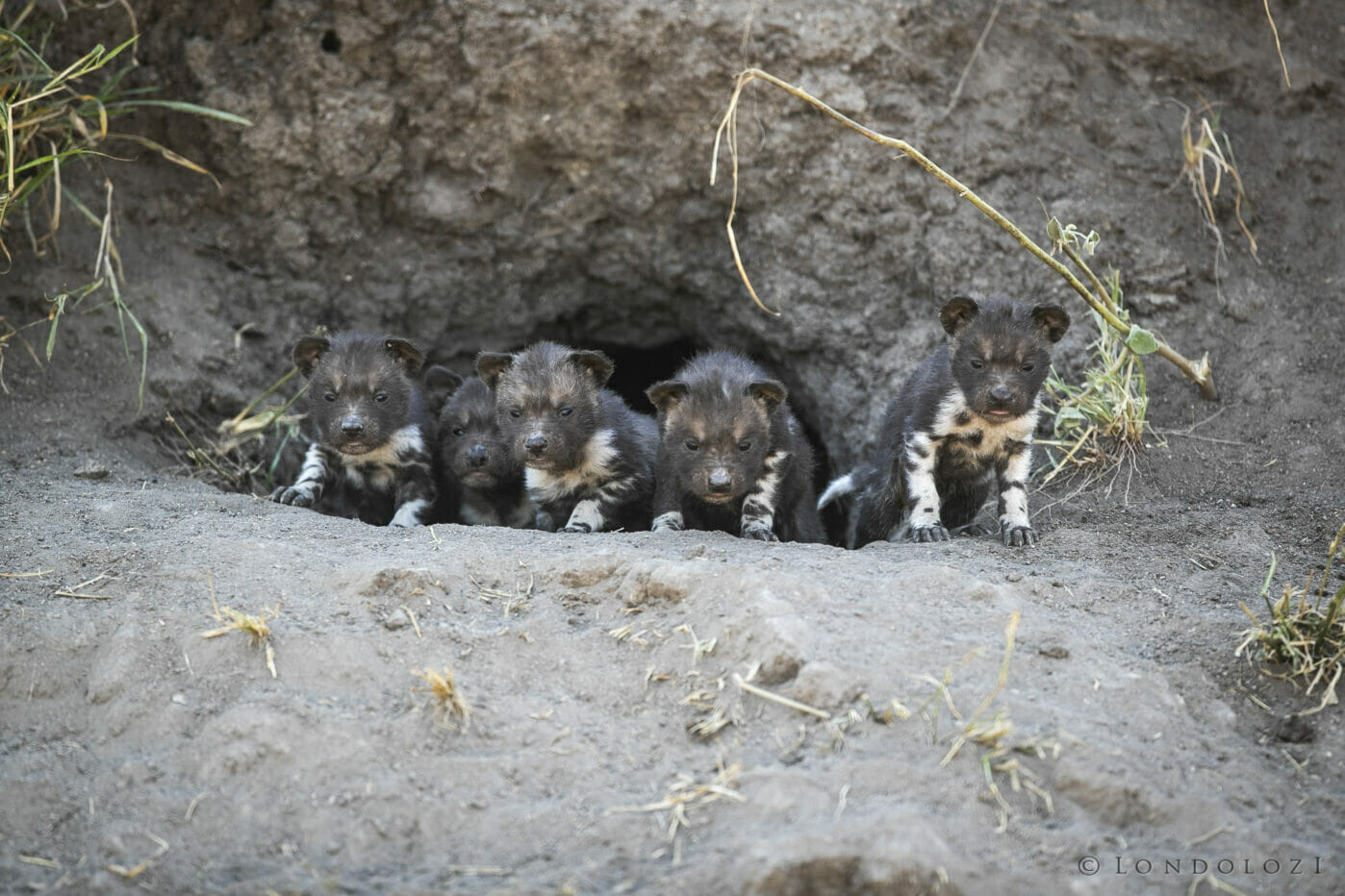 SDZ Wild dog pups five 24 June