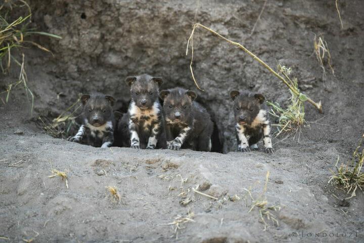 SDZ Wild dog pups five 24 June.