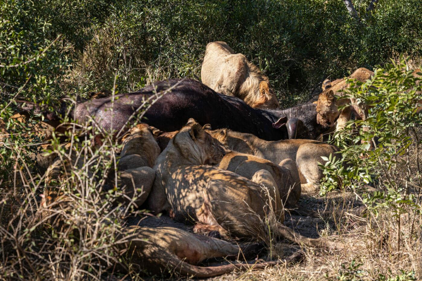 Nkuhuma Pride Feeding On Buffalo