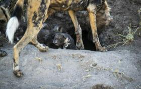 SDZ wild dog pup between legs